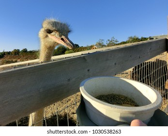 Ostrich feeding on ostrich farm