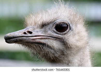 ostrich flightless bird with beautiful fly feathers