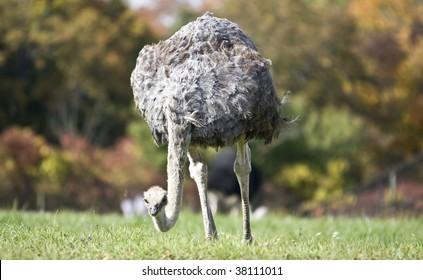 ostrich in a grass