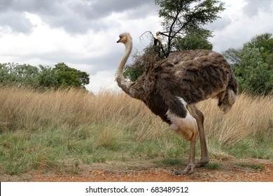 Ostrich in grass field.