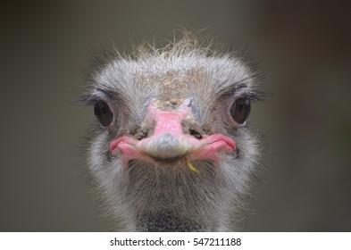 An Ostrich head close up