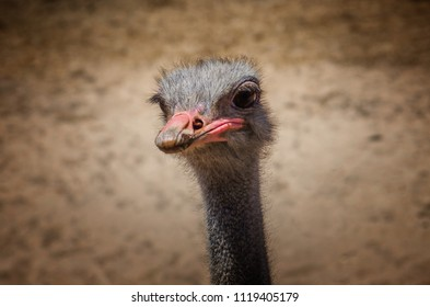 Ostrich head closeup against dirt brown background