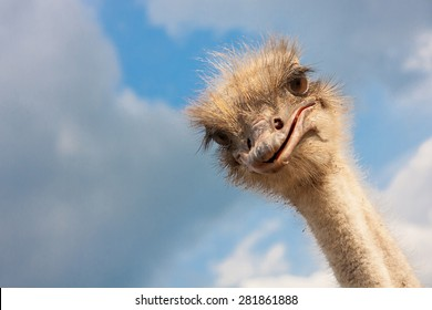Ostrich head closeup outdoors