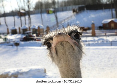 ostrich head and neck front portrait