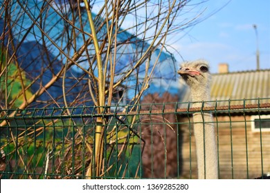 Ostrich head peeking over a metal fence in a zoo and looking at visitors in early spring