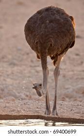 Ostrich, Kalahari Desert, South Africa