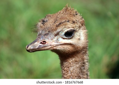 Ostrich looking at the camera