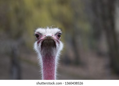 Ostrich looks annoyed
