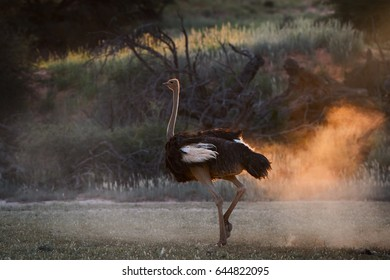 Ostrich male, Struthio camelus,walking in dry savanna. Dust backlighted by last rays of setting sun create nice african wildlife atmosphere. Nature photography in Kalahari.