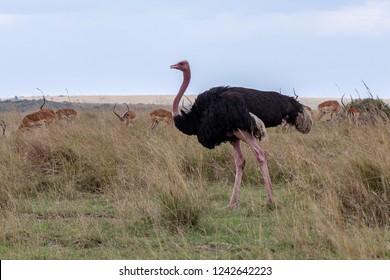 Ostrich in the Masai Mara, Kenya Africa