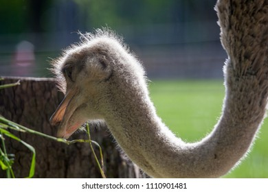 Ostrich in the Moscow Zoo