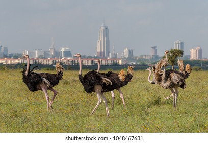 Ostrich in Nairobi, Kenya. Male and female ostriches grazing in Nairobi national park in East Africa. Nairobi city in the background, skyscrapers, flats and tall buildings.