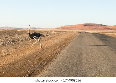 Ostrich in the Namib desert crossing the road through the Namin Naukluft Park