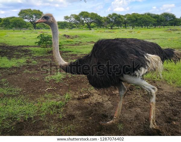 ostrich in nature