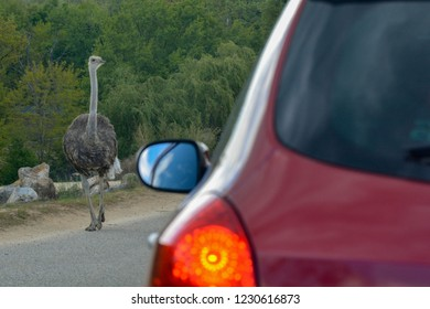 Ostrich next to a car during a safari ride in a zoo.