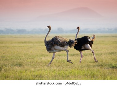 Ostrich on the african savannah