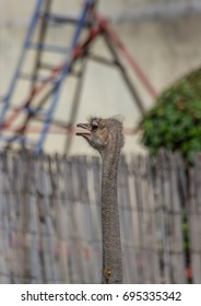 Ostrich on a farm near the city of Oudtshoorn in South Africa