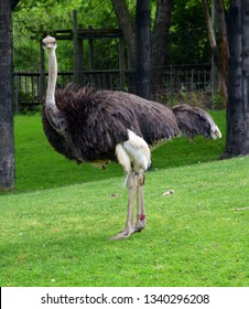 The Ostrich is one or two species of large flightless birds native to Africa, the only living member(s) of the genus Struthio.