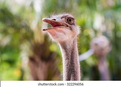 Ostrich portrait. African ostrich close up.