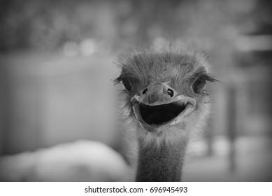 ostrich portrait, black and white