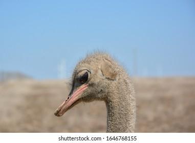 Ostrich portrait crestfallen in the foreground