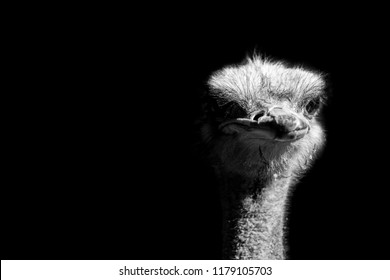ostrich portrait isolated on black background