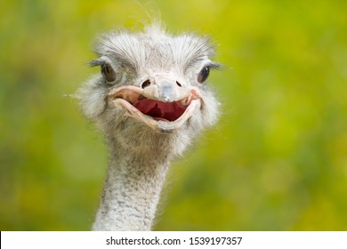 Ostrich portrait on blurred trees background