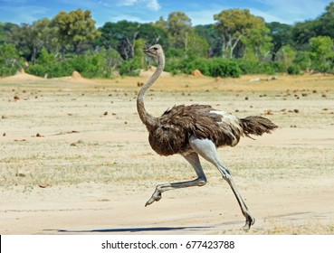 Ostrich running across the Hwange Plains in Zimbabwe, Southern Africa
