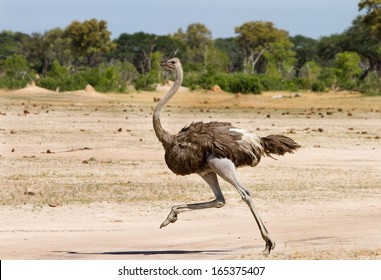 Ostrich Running across the Plains in Hwange - Zimbabwe