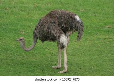 Ostrich Standing on Grass