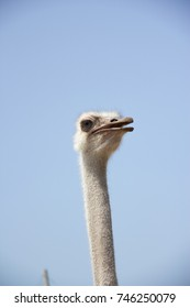 Ostrich stretches neck to stare.Birds are waiting for people to feed.