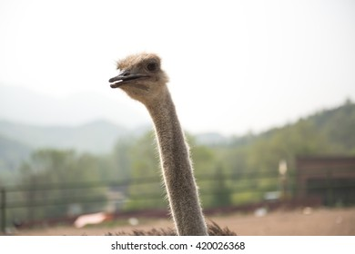 The ostrich is stretching his neck.