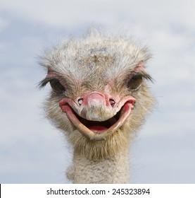 Ostrich, Struthio camelus.