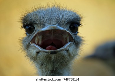 Ostrich (Struthio camelus) head and neck looking forwards and beak open with a blurred background.
