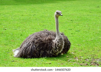 Ostrich Struthio Camelus Lying on Grass  in Nature