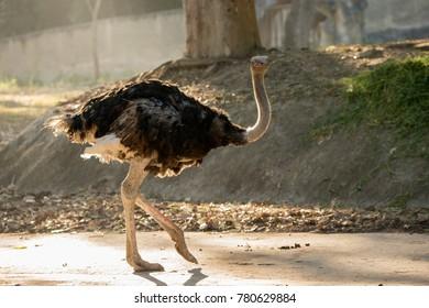 ostrich walk