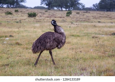 Ostrich walking on a grass field. Taken near Sonora, Texas, United States of America.