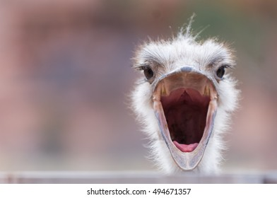 An ostrich with wide open beak, looking surprised