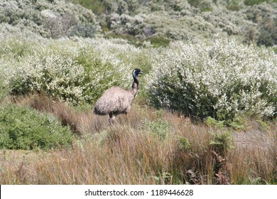 ostrich at wilsons promontory national park, australia