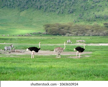 Ostrich and zebra at the Ngorongoro Crater in Tanzania Africa 2007
