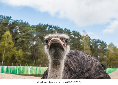 Ostrich at the zoo in a summer day