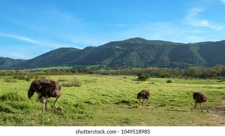 Ostriches at an ostrich farm in California.