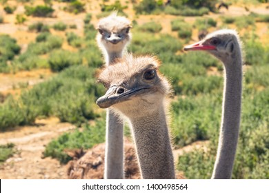 Ostriches Portrait Close Up in Natural Background. Ostriches Have the Largest Eyes of Any Birds in the World