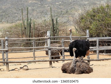Ostriches (Struthio camelus) in their pens at the Aruba Ostrich Farm, Paradera, Aruba. The pair in the foreground are mated. The male has black feathers.
