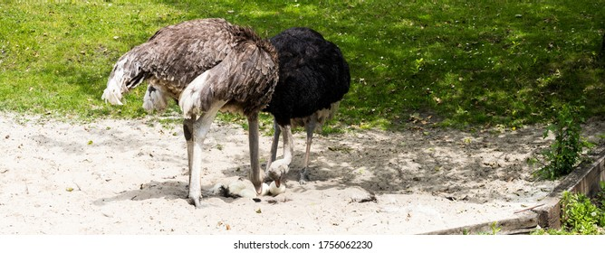 Ostriches taking care of their eggs on a sunny day