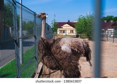 Ostriches in a zoo, an ostrich farm, an ostrich in an urban environment. Summer day