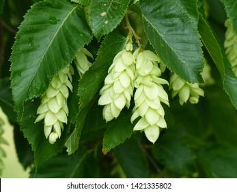 Ostrya carpinifolia, the European hop-hornbeam, is a tree in the family Betulaceae.
