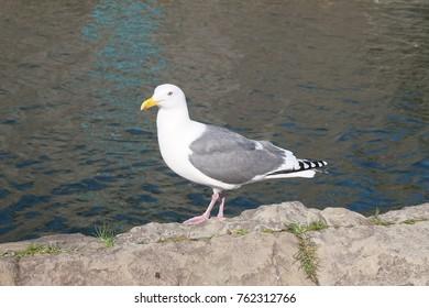 An Otaru's seagull.