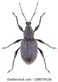 Otiorhynchus sulcatus is a genus of weevils in the family Curculionidae. Black vine weevil is a pest. Isolated weevil on white background.