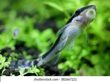 Otocinclus attached against glass surface of a planted aquarium